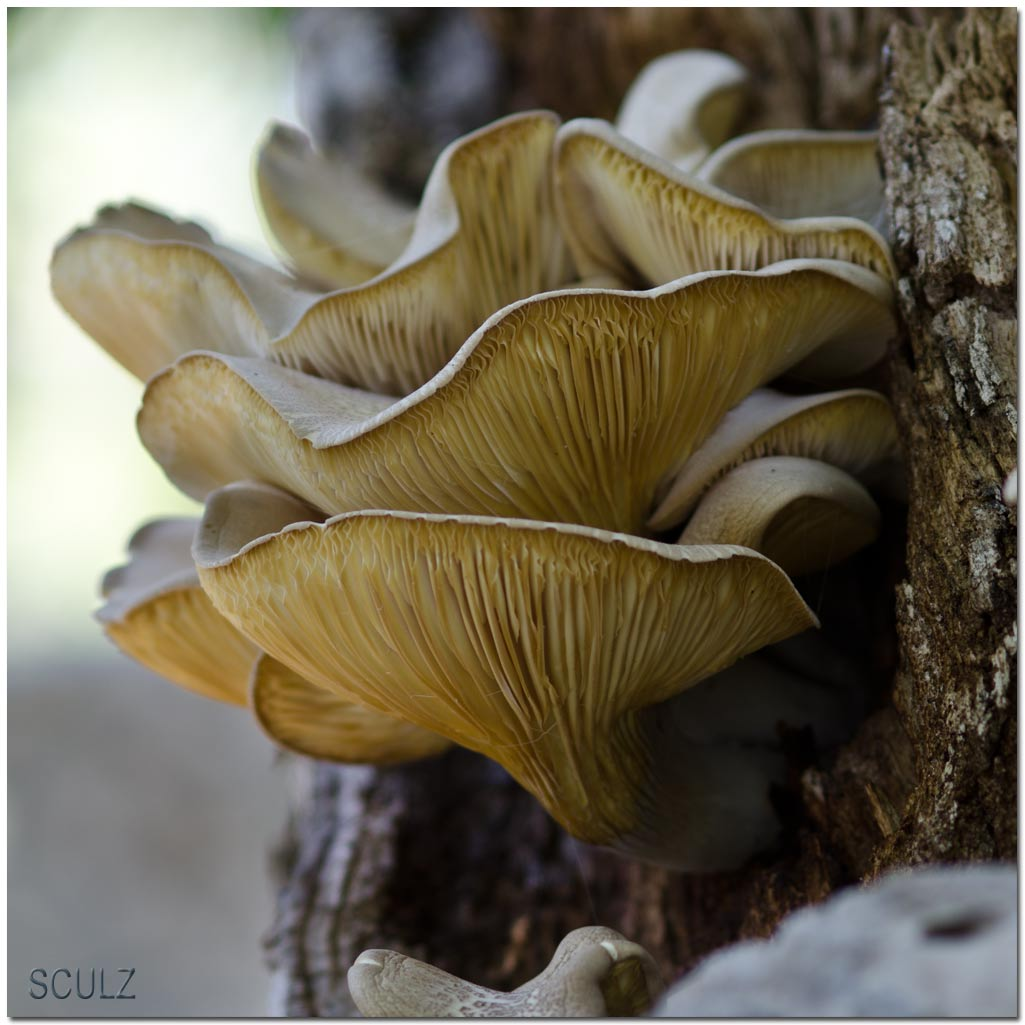 Pleurotus_dryinus_03.jpg