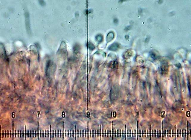 Collybia_dryophila_basidio.jpg