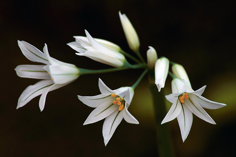 Allium triquetum.jpg