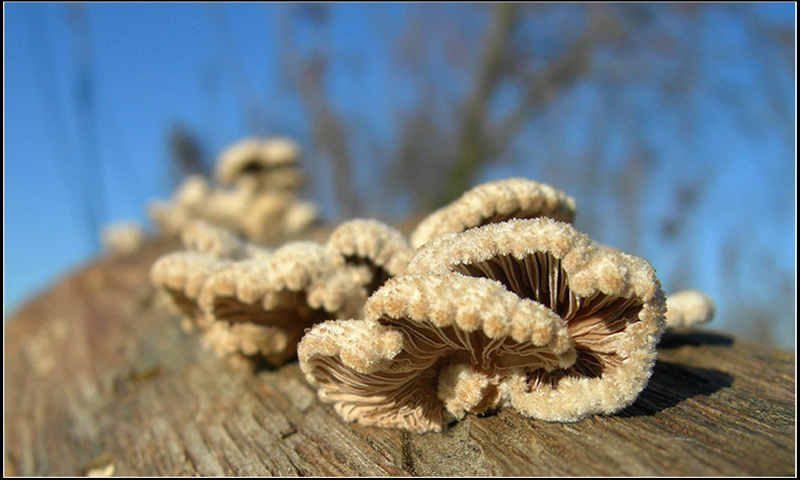 schizophyllum_commune1.jpg