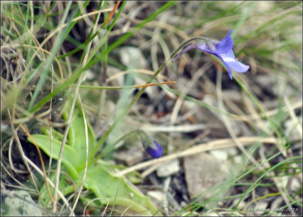 DSC_0495R_pinguicula leptoceras Rchb._.jpg