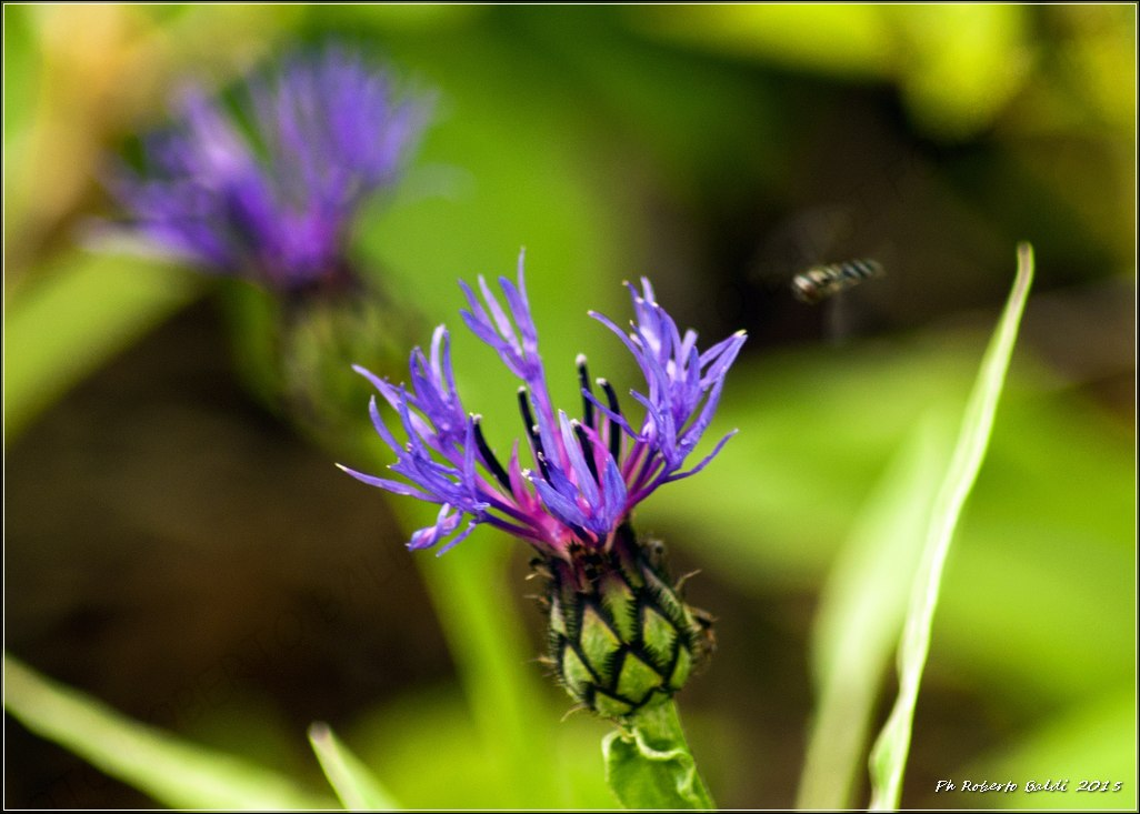DSC_0512R_Centaurea triumfetti All. _.jpg