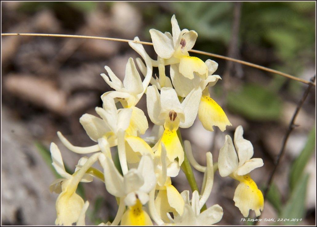 DSC_1355r_Orchis pauciflora.jpg