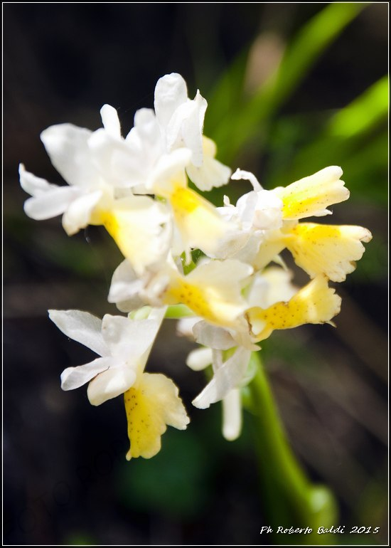 DSC_0395R_Orchis pauciflora Ten..jpg