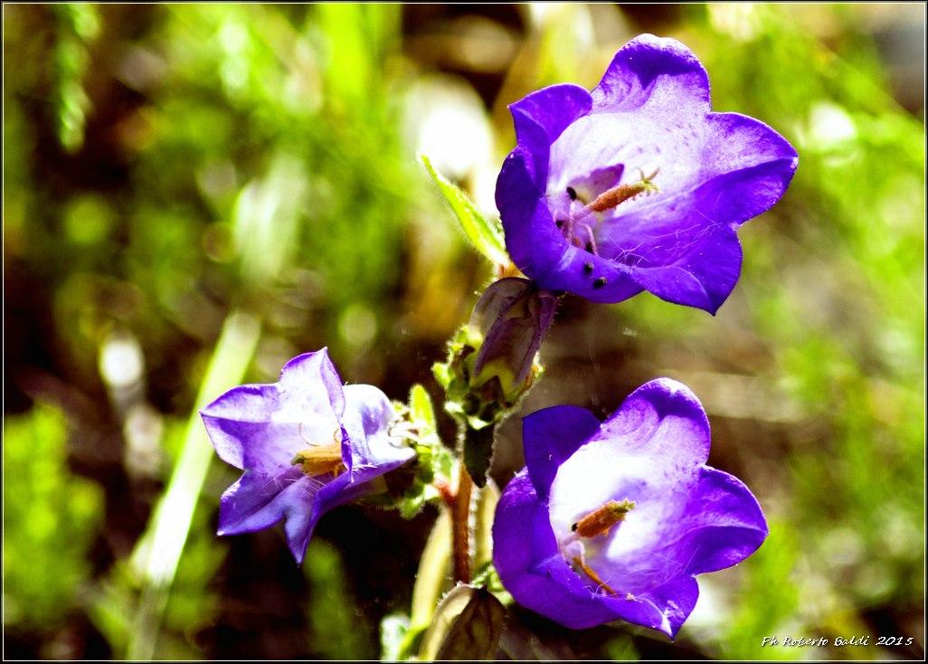 DSC_0445R_Campanula medium L._.jpg