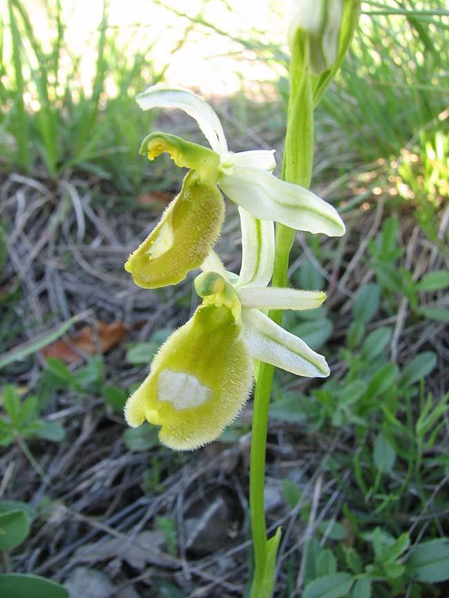 Bertoloni benacensis.jpg