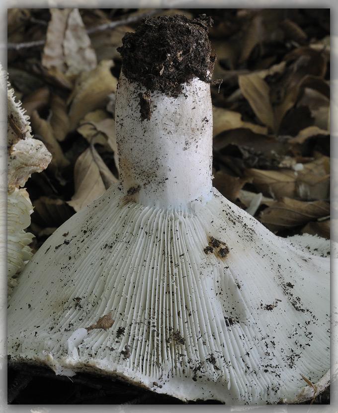R.chloroides.jpg