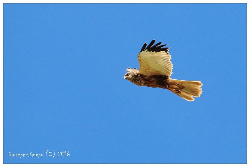 Falco di palude.jpg