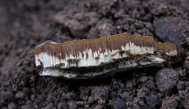 Ganoderma_resinaceum5_copia.jpg