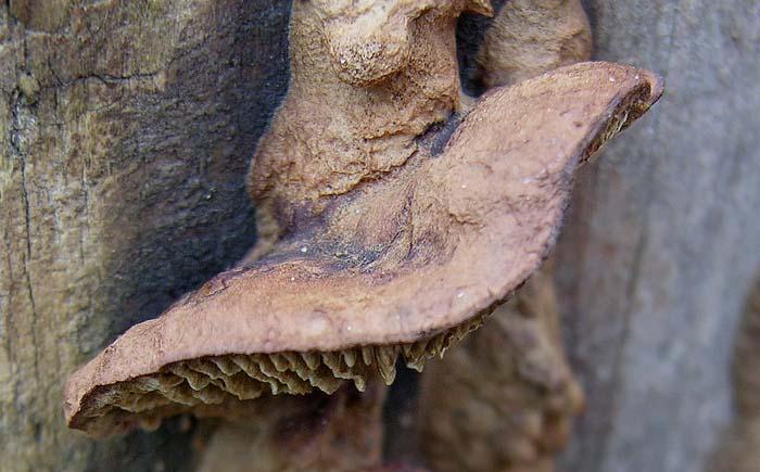Gloeophyllum_abietinum1_copia.jpg