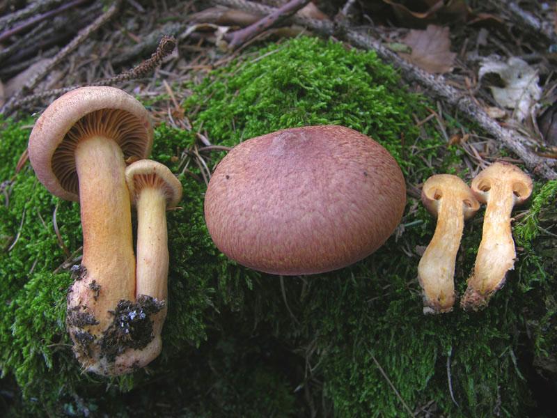 Chroogomphus_helveticus1.jpg