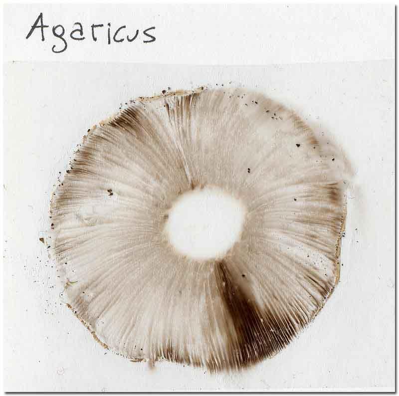 sporata-agaricus.jpg