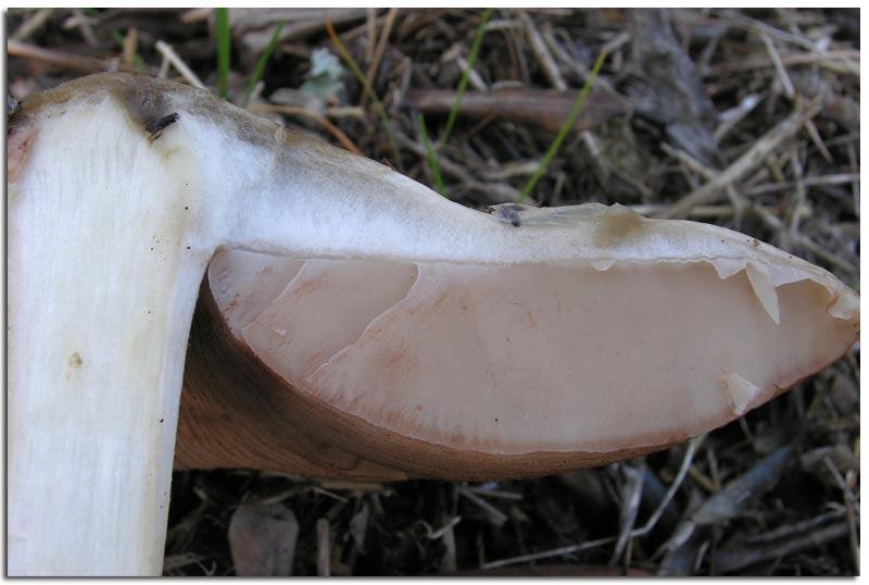 BAG_Volvariella-gloiocephala-(2).jpg