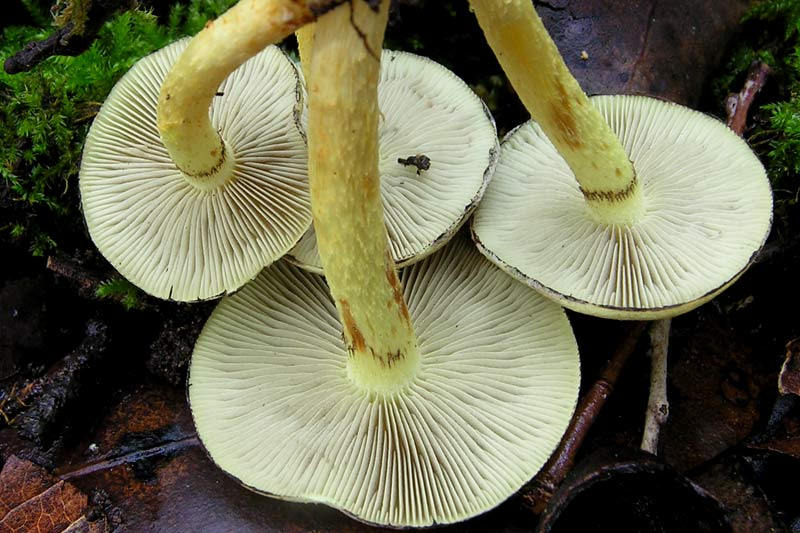 Hypholoma_fasciculare_-(7).jpg