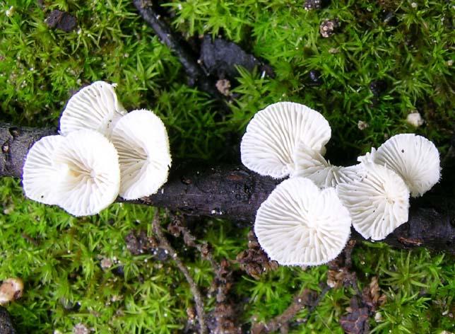 Chaetocalathus_craterellus.jpg
