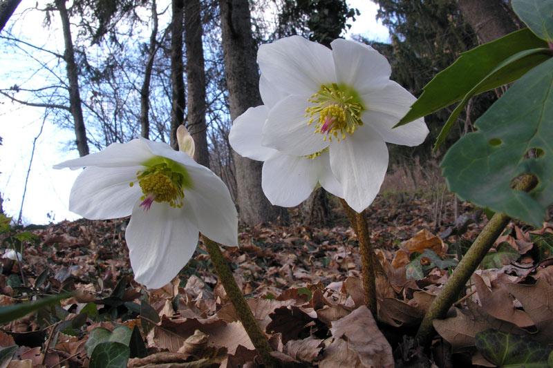 Helleborus_niger_subsp._nig.jpg