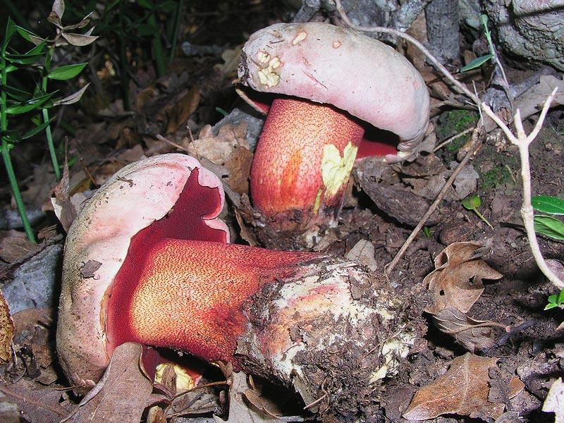Boletus_rhodoxanthus.jpg