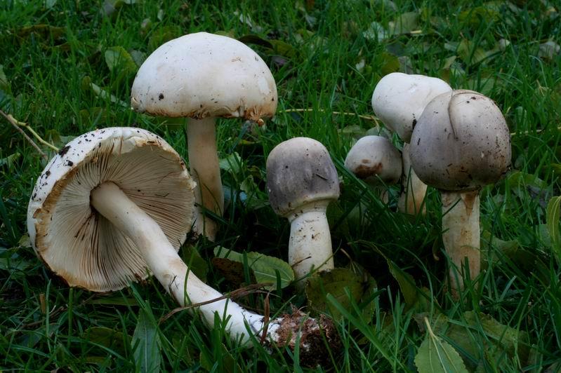 Leucoagaricus carneifolius.jpg