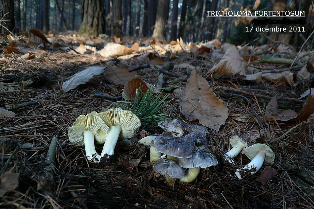 Copia di 2011 1 tricholoma portentosum.jpg