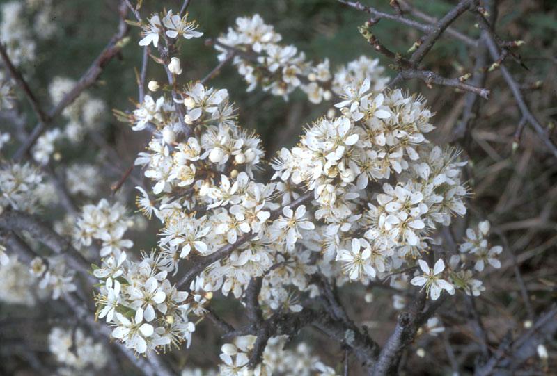 Prunus_spinosa_6.jpg