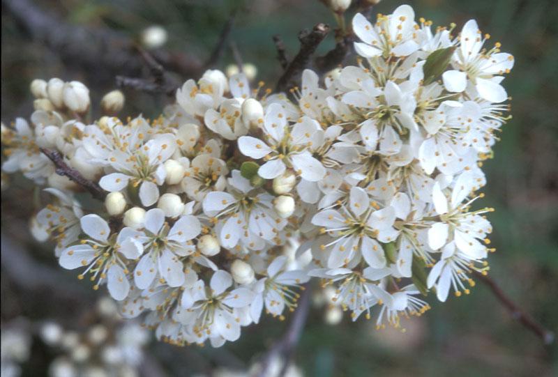 Prunus_spinosa_7.jpg