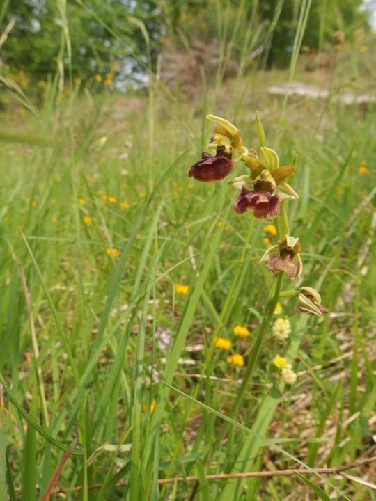 Ophrys aranifera HDTV (720).jpg