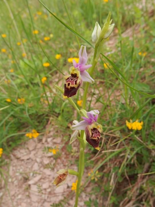 Ophrys dinaricaHDTV (720).jpg