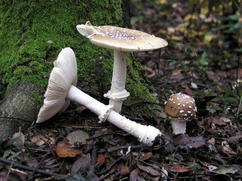 Amanita_pantherina_4.jpg