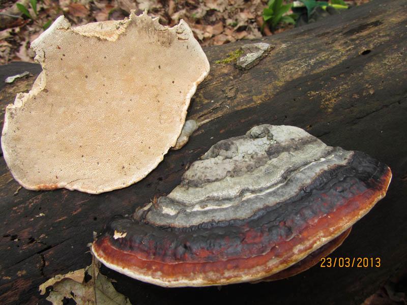 Fomitopsis pinicola1.jpg