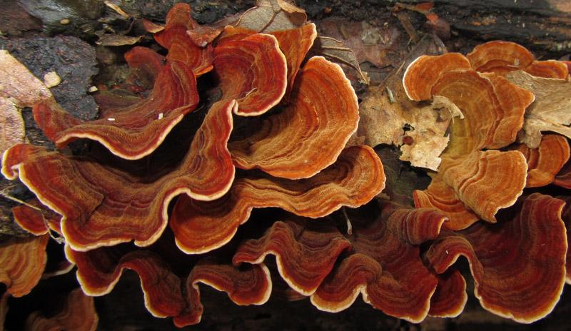 Stereum subtomentosum.jpg