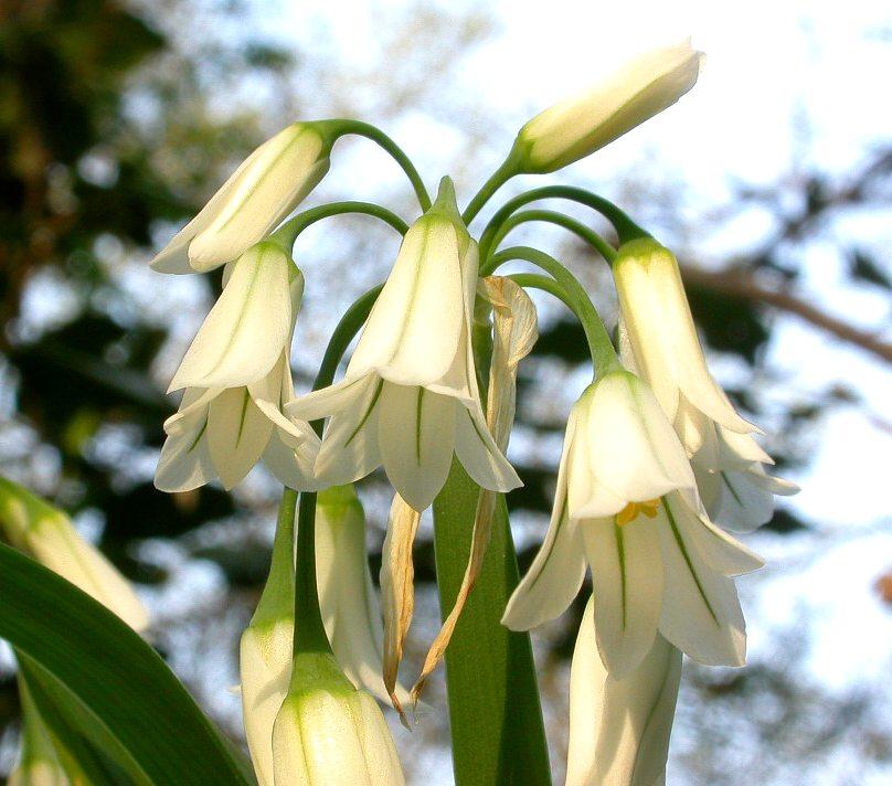 Allium_triquetrum1.jpg