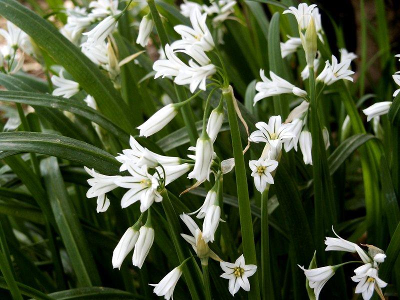 Allium_triquetrum.jpg