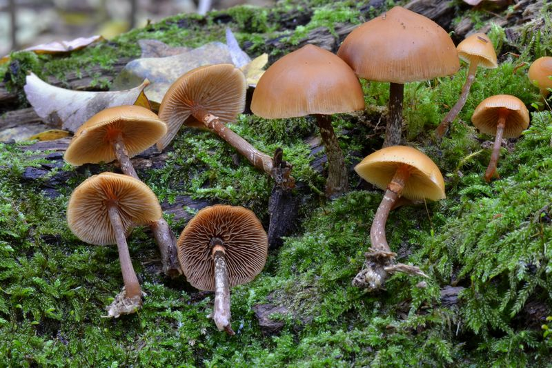 Galerina marginata Koch 26-11-2011 4.JPG