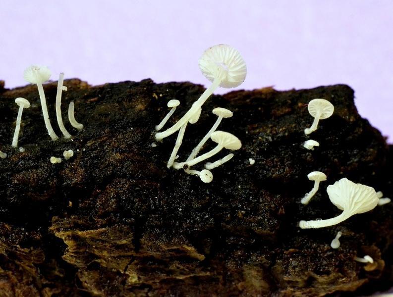 Hemimycena crispata villa Koch 04-12-2014 2.jpg