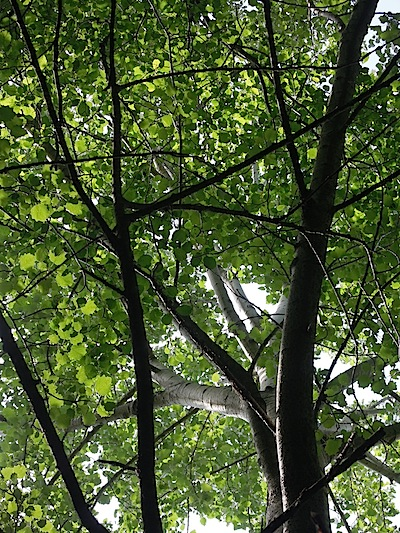 populus alba -la chioma.JPG
