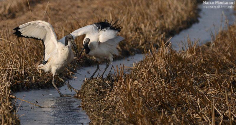 ibis sacri in lotta per la preda