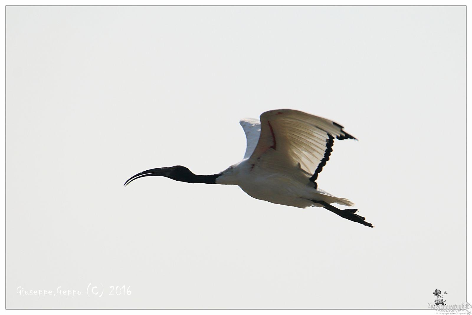 Ibis solitario