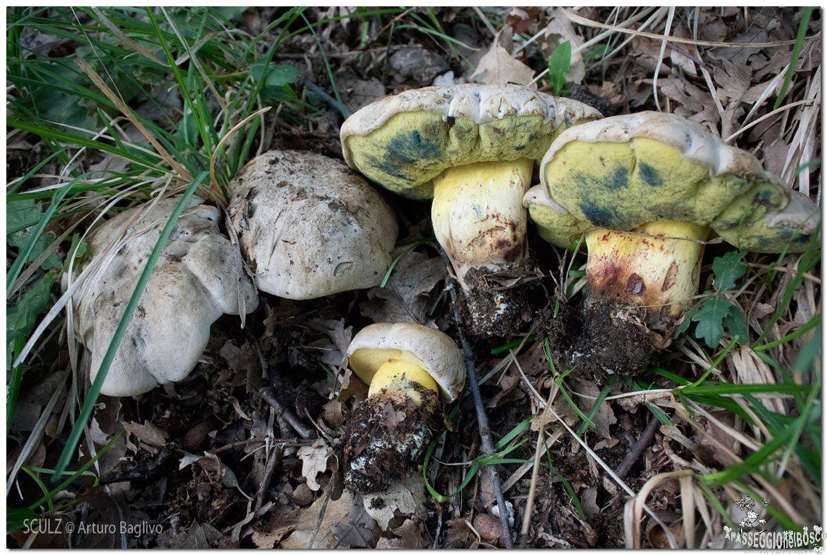 Boletus (Caloboletus) radicans