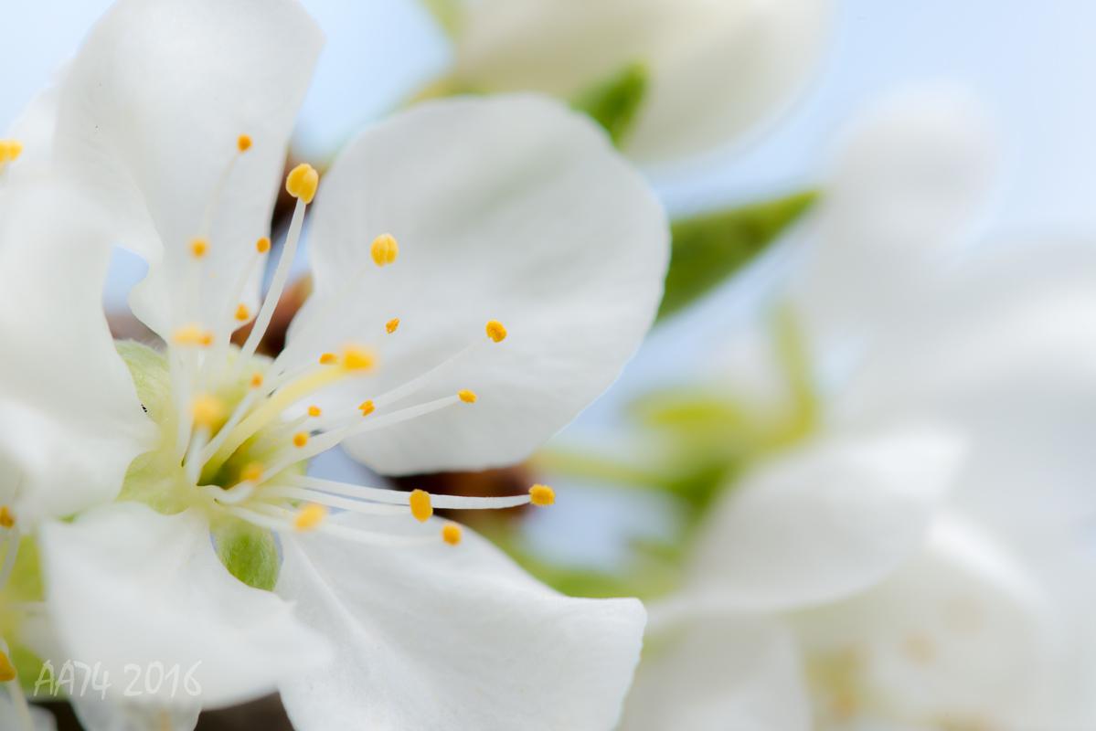 Prima fioritura