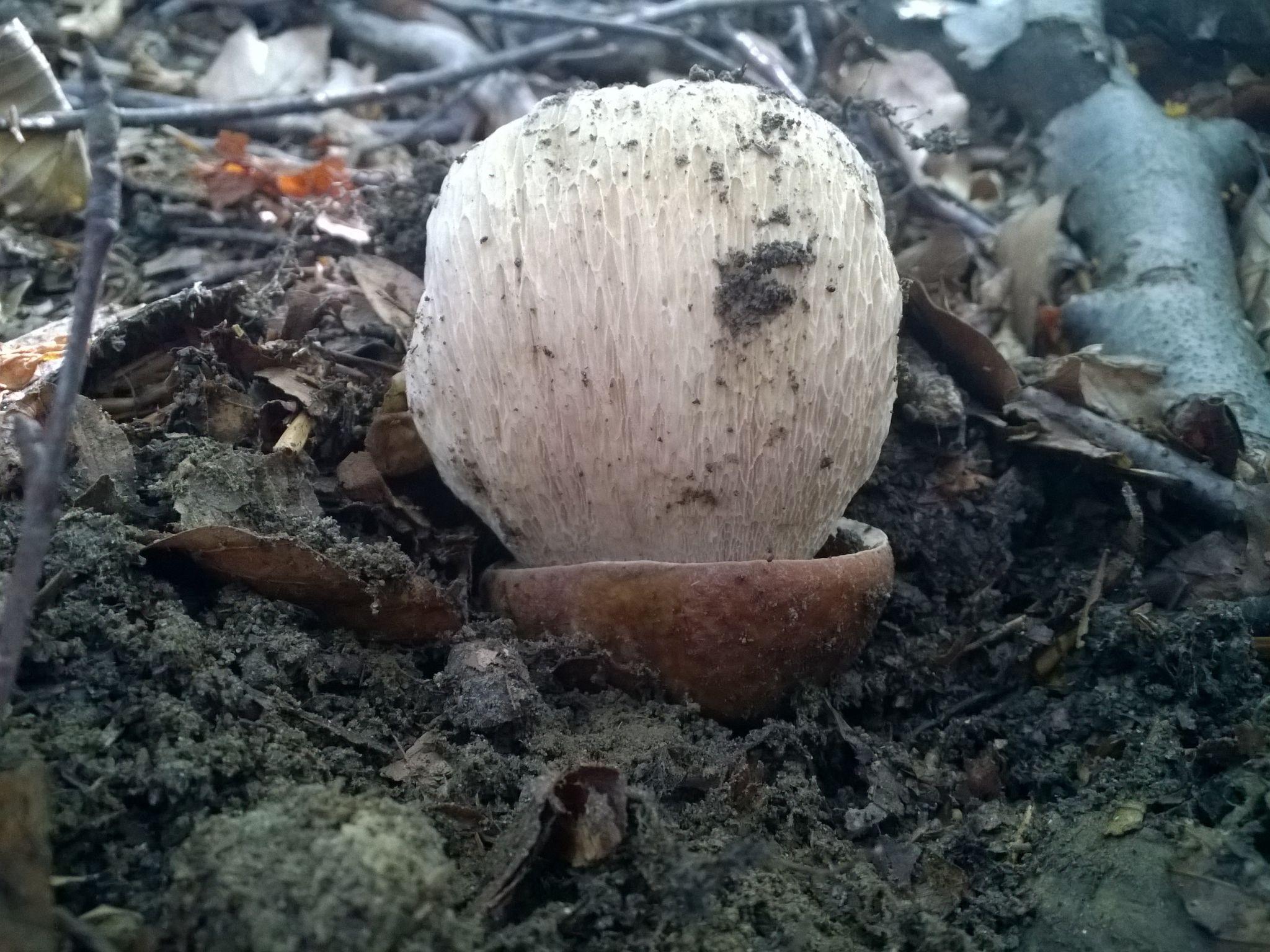 Boletus reticulatus (nato così con il cappello interamente coperto dalla terra)