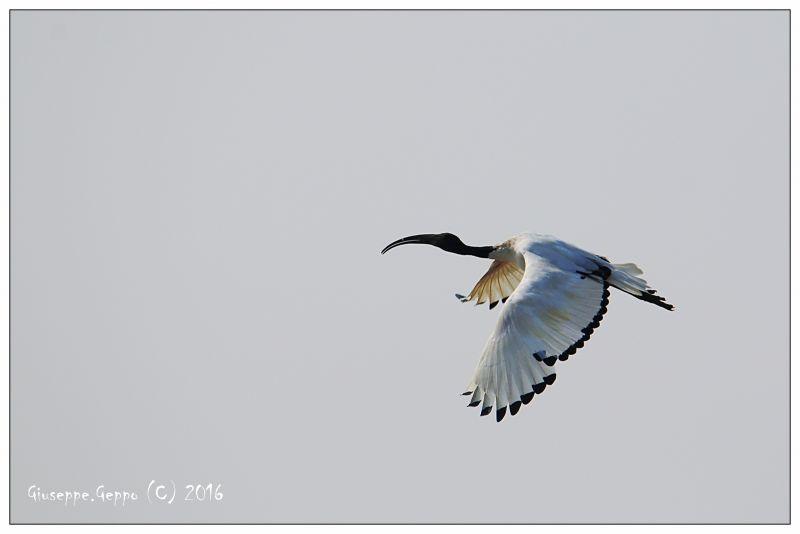 Ibis Sacro in Volo